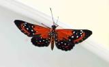 Some Brazil Butterflies