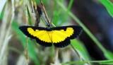 Xanthiris flaveolata (Saffron Playboy)