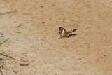 Marpesia crethon (Crethon Daggerwing)