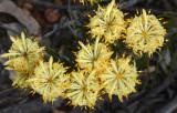 Petrophile serruriae yellow form