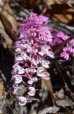 Tangled Grevillea (Grevillea leptobotrys)