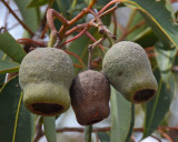 Marri (Corymbia calophylla)