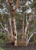 Powderbark Wandoo (Eucalyptus accedens)