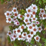 Ericomyrtus parvifolia