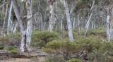 wandoo woodland