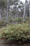 Wandoo (Eucalyptus wandoo) woodland