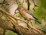 Western Bluebird Juvenile eating a worm