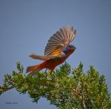 Painted Bunting flying off cedar