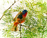 Painted Bunting drying off