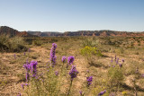 Flowers at Caprock Canyon