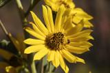 Flower at Caprock