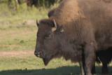 Bison at Caprock