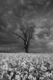 monochrome rape field