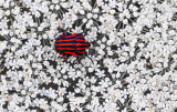 red-striped