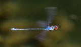red-eyed flight