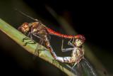 dragonfly sex