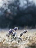 frosty pulsatillas