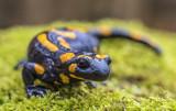 another salamander