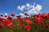 the poppies and the sky
