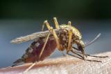 refuelling mosquito