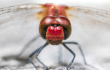 red dragonfly portrait