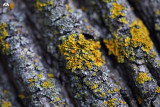 Golden Lichen