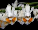 20191569 Phalanopsis gibbosa 'Emma' AM/AOS (82 points) Orchids, Ltd (close up)