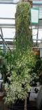 20191570 Dockrilla teretifolia 'Althea' CCM/AOS (83 points) Matt Pfeifer - TenShin Orchids (plant)