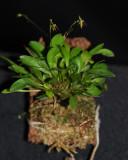 20191656 Platystele apoloae 'Orkiddoc' CBR/AOS 12-14-2019 - Larry Sexton (plant)
