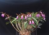 20202603 Cattleya dormanniana 'Shane' CCM/AOS (86 points) 11-14-2020 - William Rogerson (plant)