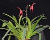 20202604 Phragmipedium Lilja Myhre 'Sophie' AM/AOS (86 points) 11-14-2020 - Orchids by Hausermann (plant)