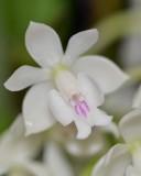20202606 Epidendrum hugomedinae 'I Know Him' AM/AOS (80 points) 11-14-2020 - Larry Sexton (flower)