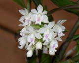 20202606 Epidendrum hugomedinae 'I Know Him' AM/AOS (80 points) 11-14-2020 - Larry Sexton (inflorescence)