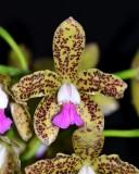 20202607 Cattleya guttata 'Claire' HCC/AOS (76 points) 11-14-2020 - William Rogerson (flower)
