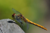 Libellen en Juffers/Dragonflies and Damselflies