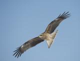 D4_6022F oostelijke zwarte wouw (Milvus migrans lineatus, Black-eared kite).jpg