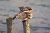300_2311F velduil (Asio flammeus, Short-eared Owl).jpg