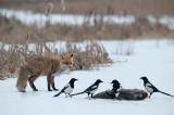 700_0485F vos (Vulpes vulpes, Red Fox) en ekster (Pica pica, Common Magpie).jpg