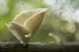 D40_7898F trechteroesterzwam (Pleurotus cornucopiae).jpg