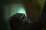 D4S_4034F westelijke laaglandgorilla (Gorilla gorilla gorilla, Western lowland gorilla).jpg