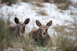 D4S_4639F eland (Alces alces, Moose).jpg