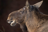 D4S_4799F eland (Alces alces, Moose).jpg