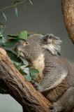 D4S_3959F koala of buidelbeer (Phascolarctos cinereus, Koala).jpg