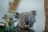 D4S_4014F koala of buidelbeer (Phascolarctos cinereus, Koala).jpg