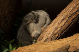 D4S_4027F koala of buidelbeer (Phascolarctos cinereus, Koala).jpg