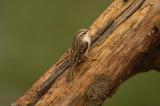 D4S_6373F boomkruiper (Certhia brachydactyla, Short-toed Treecreeper).jpg
