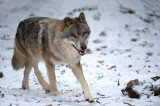 D4S_4357F wolf (Canis lupus, Wolf).jpg