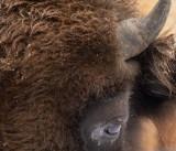 D4S_4984F wisent (Bison bonasus, European bison).jpg