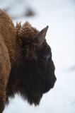 D4S_5041F wisent (Bison bonasus, European bison).jpg