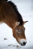D4S_5112F przewalskipaard (Equus ferus przewalskii, Przewalski's horse).jpg